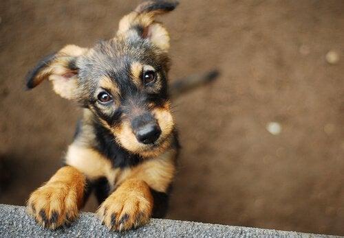 見上げる子犬