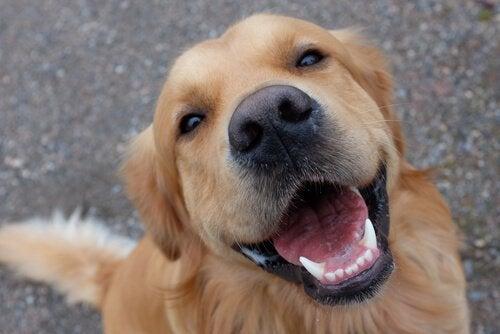 健康な歯を持つ犬