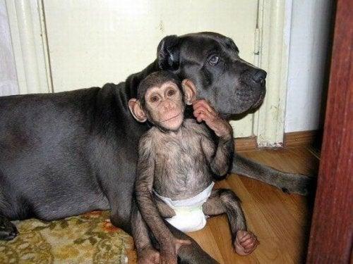チンパンジーのお世話をする犬