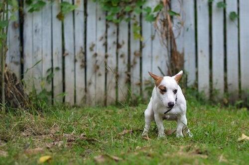庭で用を足す犬