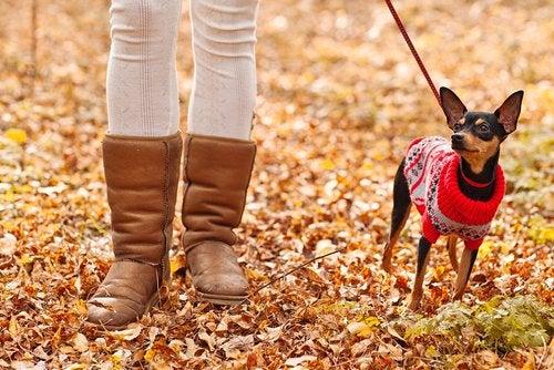 ピンシャー「ブーツ可愛いね!」 寒さ対策