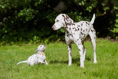 世界で最も美しい犬種
