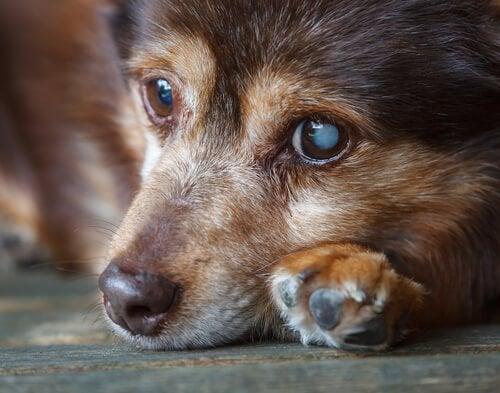 目が白く濁っている犬