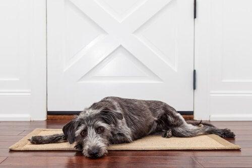玄関の前で寝そべる犬 お留守番