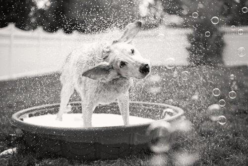 プールで水を落とす犬 振り回す