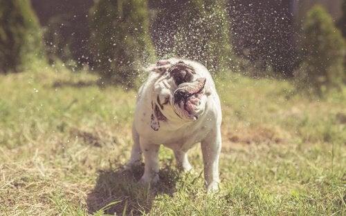 草むらで水を落とす犬 振り回す
