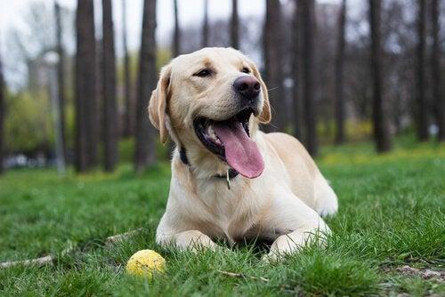 ボールの横に座る犬