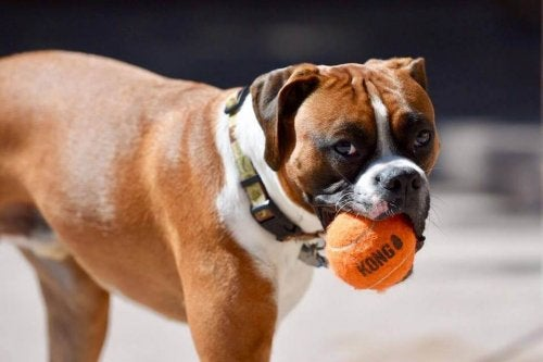 「コング」:犬のための新しいおもちゃ
