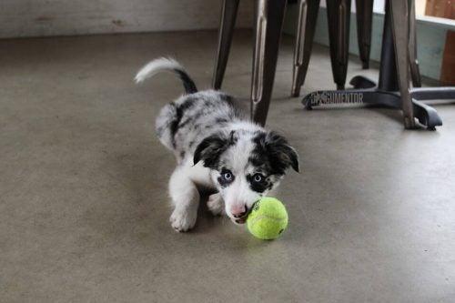 コング で遊ぶ子犬