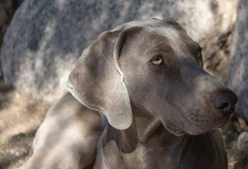 グループ7の犬種:国際畜犬連盟(FCI)による犬種の分類