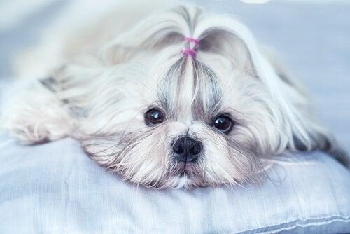 中国からやってきた人気の犬種