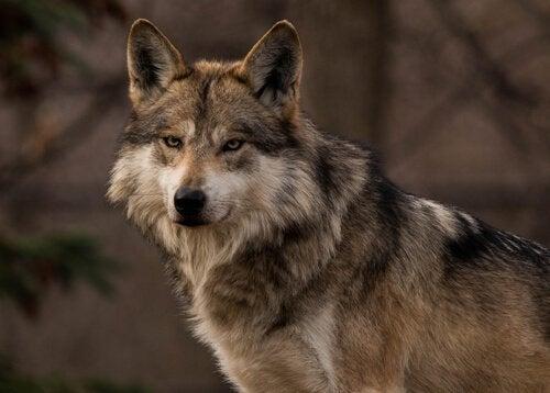正面を見るオオカミ