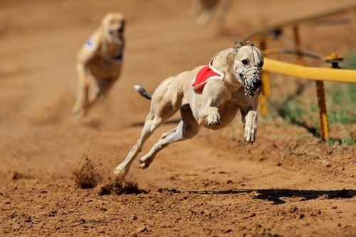 ドッグレースに参加する犬