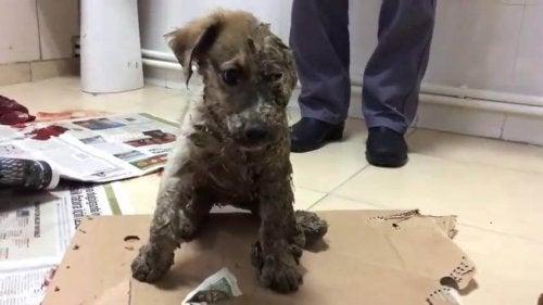 接着剤で体を固められた子犬のパスカルが救助される