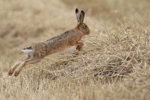 野原を跳びまわるノウサギ