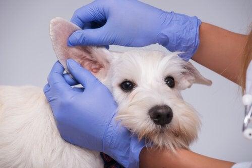 耳を診てもらっている犬