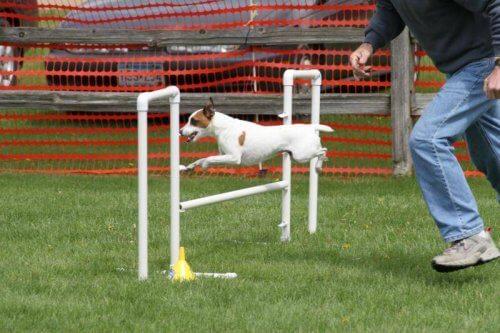 ハードルをジャンプする犬