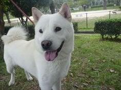 白い北海道犬