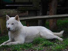 草の上に寝そべる北海道犬