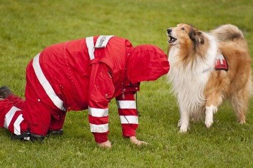 トレーニング中の犬 捜索救助犬   災害救助犬