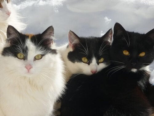 招き猫のモデル:ジャパニーズボブテイル