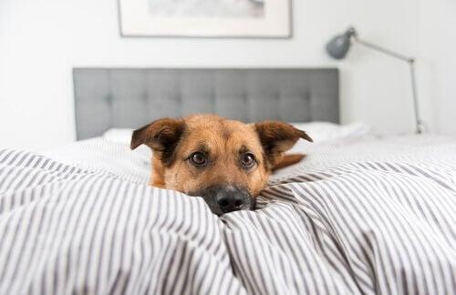 ベッドの上にいる犬 過保護 攻撃的