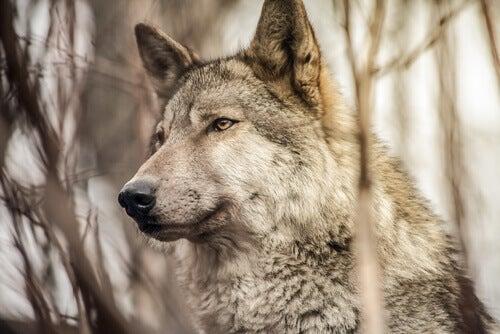 どこかを見つめる オオカミ 群れ