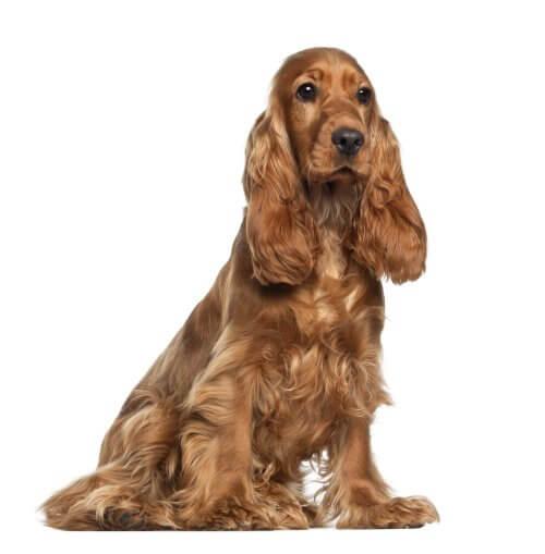 耳の垂れた犬