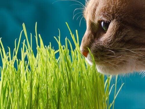 キャットニップ を食べる猫