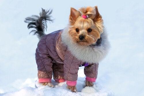 雪の中のヨーキー ヨークシャテリア 洋服