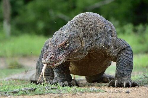 コモドドラゴン:「モンスター」と呼ばれる世界最大のトカゲ