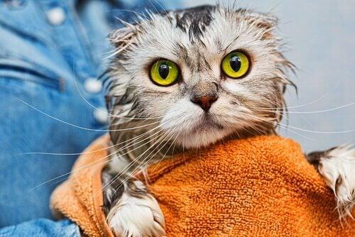 お風呂上がりの猫 お風呂 入れず 猫 きれいにする
