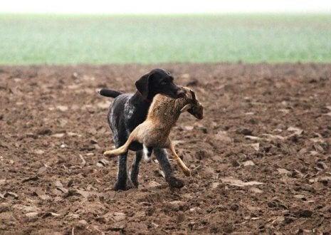あなたの愛犬が優れた猟犬かを見極める方法