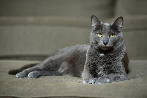 コラットというネコ:あなたは知ってますか?