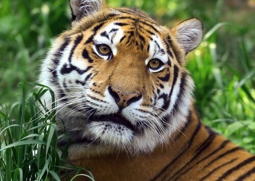 中国十二支に出てくる動物 トラ