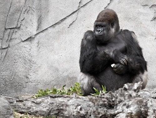 手話が使えるゴリラの「ココ」について
