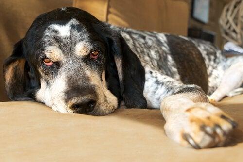 具合の悪い犬 犬 発熱 対処