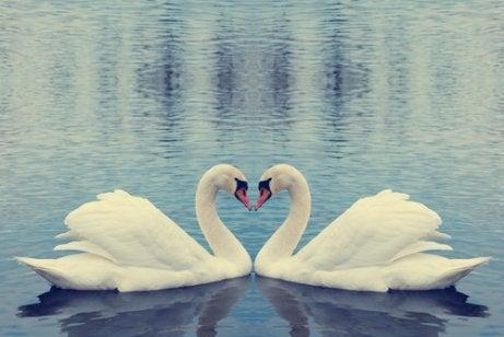 白鳥の愛 一夫一婦 動物