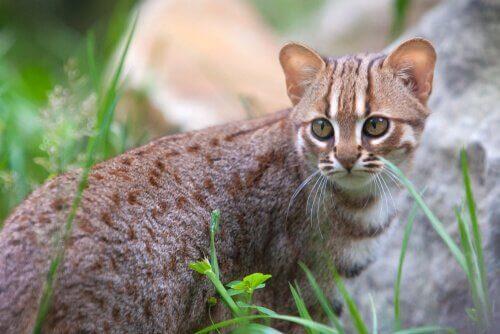 セイロンキャット アジア   ネコ 種類
