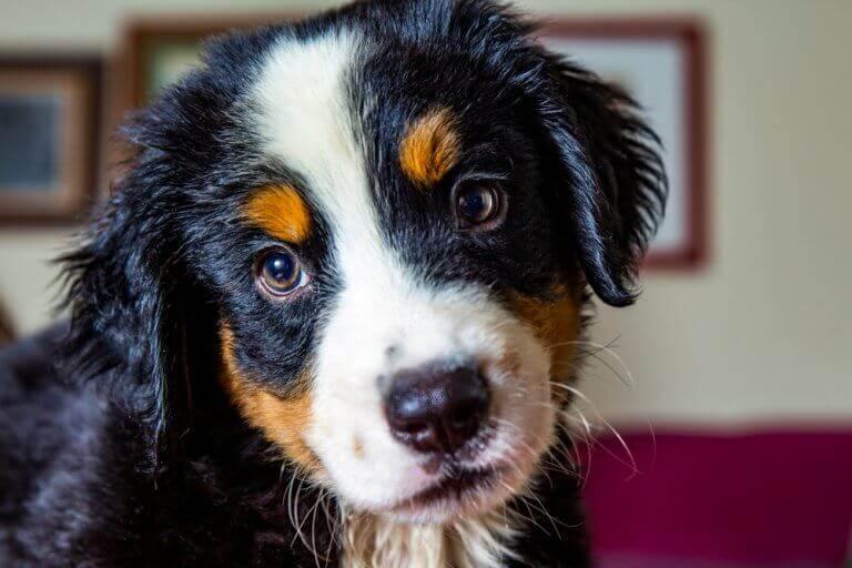 こちらを見つめる犬 スペイン原産 犬