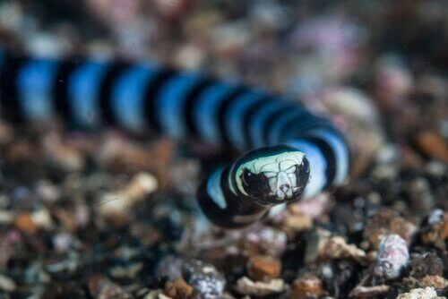 泳いでいるウミヘビ 獲物を捕らえるのが上手  生き物