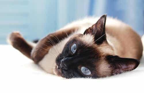 アジア生まれの5種類のネコ:日本のネコもご紹介!