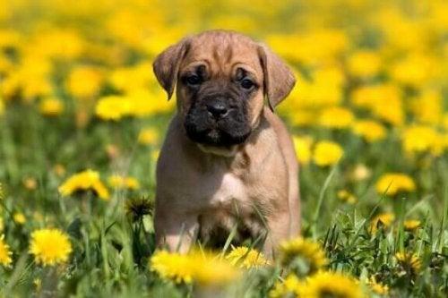 スペイン原産の犬たち:たくさんのワンちゃんをご紹介!