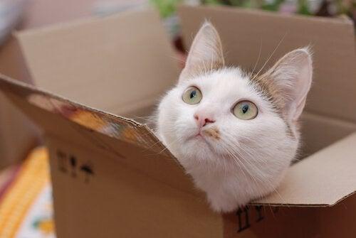ダンボール箱から頭を出すネコ 猫  ダンボール   好き