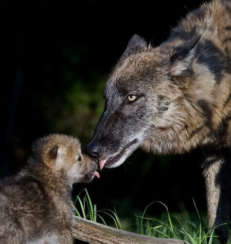 子供の顔を舐めるオオカミ
