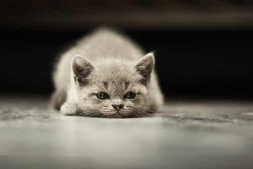 一般的な猫のガンのタイプ