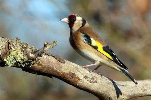 世界で最も美しいと言われている5種類の鳴鳥について