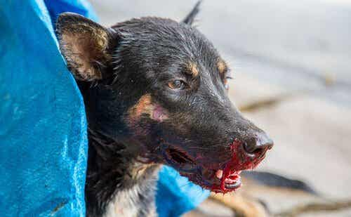 もし愛犬が血を吐いたときはどうすればいいの?!