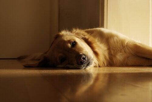 床の上で横になる犬