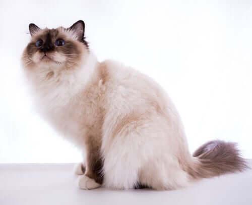 バーマン 長毛種 中毛種   猫